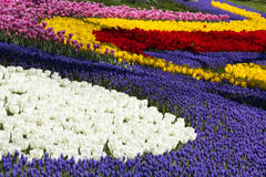 Field of tulips, and hyacinth Stock Images