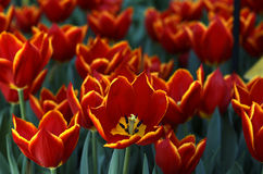 Field of Tulips II. A field of red tulips royalty free stock photos