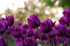 A Field of Tulips. A low angle shot of tulips Stock Photography