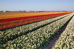 Field of tulips in Netherlands Stock Images