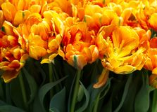 A field of tulips Stock Image