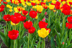 Field of tulips. Field of red and yellow tulips image Stock Photography