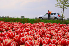 Field of tulips and road Royalty Free Stock Images