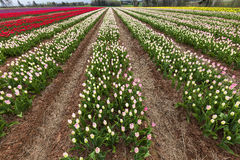 Field Tulips Royalty Free Stock Photography