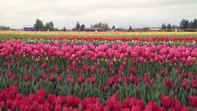 Skagit Valley Tulips Festival, Washington State 4K. UHD. A field tulips at the Skagit Valley Tulip Festival, Washington State stock video