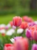 Field of purple tulips Stock Image