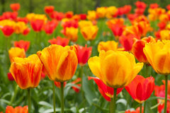Field of orange tulips Stock Images