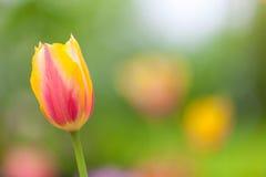 Field of orange tulips  Stock Photo