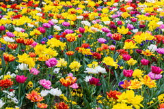 Field of yellow tulips Stock Images