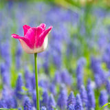 Field of purple tulips Royalty Free Stock Images