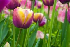 Field of purple tulips Stock Photography