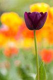 Field of  purple tulips Stock Photos