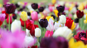 Field of tulips in spring Royalty Free Stock Photo