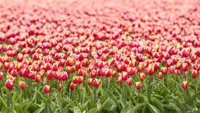 Field of Tulips in spring. Field of red and yellow Tulips shaking in the wind in spring stock footage