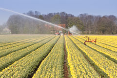 Field of tulips with sprinkler installation Royalty Free Stock Photos