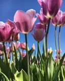 A field of tulips. Tulips on a sunny spring day Royalty Free Stock Image