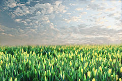 Field of tulips at sunset Royalty Free Stock Photo
