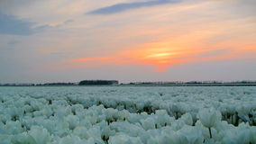 Field of Tulips sunset stock video footage