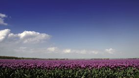 Field of Tulips. Time lapse clip of clouds moving over a field of tulips on a lovely spring day stock video footage