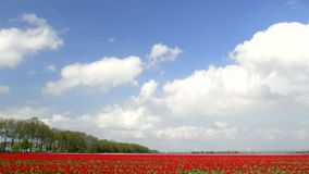 Field of Tulips. Time lapse clip of clouds moving over a field of tulips on a lovely spring day stock video