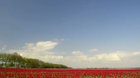 Field of Tulips. Time lapse clip of clouds moving over a field of tulips on a lovely spring day stock footage