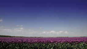 Field of Tulips stock footage