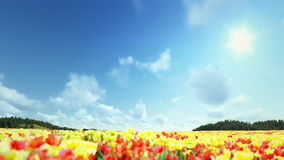 Field of Tulips, timelapse clouds. Fly over stock video footage