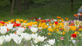 Field of Tulips with Tractor in the background. stock footage