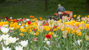 Field of Tulips with Tractor. Field of colorful Tulips with working Tractor in the background. Tractor rides from left to right, the camera does not move stock video footage