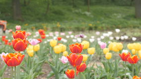 Field of Tulips with Tractor stock video footage