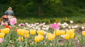 Field of Tulips with Tractor. Overcast day. stock footage