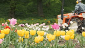 Field of Tulips with Tractor. stock video footage