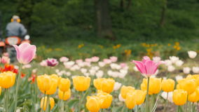 Field of Tulips with Tractor. Yellow flowers in the foreground. Tractor rides from right to left stock video footage