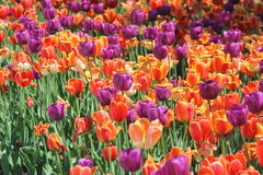 Field of Tulips Stock Images