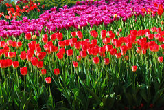 Field of tulips, tulips cute,  Stock Photography