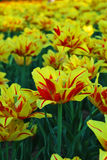 Field of tulips, tulips cute Stock Photography