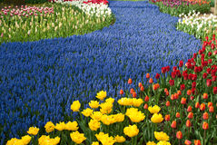 Field of tulips. Royalty Free Stock Images