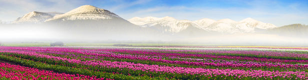 Field of tulips under the snow mountain Stock Image