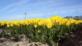 Field of tulips with wind turbines stock video