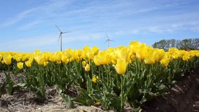 Field of tulips with wind turbines stock video footage