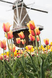 Field of Tulips and Windmill Holland Michigan Royalty Free Stock Photography