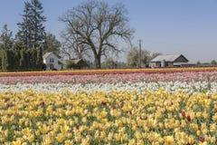 Field of tulips in Woodburn Oregon. Wooden Shoe Tulip Farm in Woodburn Oregon stock photography