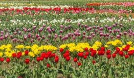 Field of Tulips in Skagit Valley Stock Photo