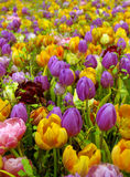 field tulpan Royaltyfria Bilder