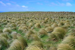 Field of tussock grass Stock Photography