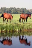 Field with two horses. Facing their reflections in the water Stock Image