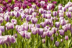 Field of Typical Dutch purple tulips Royalty Free Stock Image