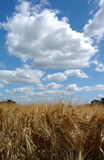 Field under blue sky. A field of grain growing under a bright blue sky royalty free stock images