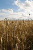 Field under theblue skies. Corn field under the blue skies view Royalty Free Stock Images
