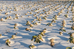 Field unharvested winter cabbage. Clean the Cabbage field under snow Stock Image